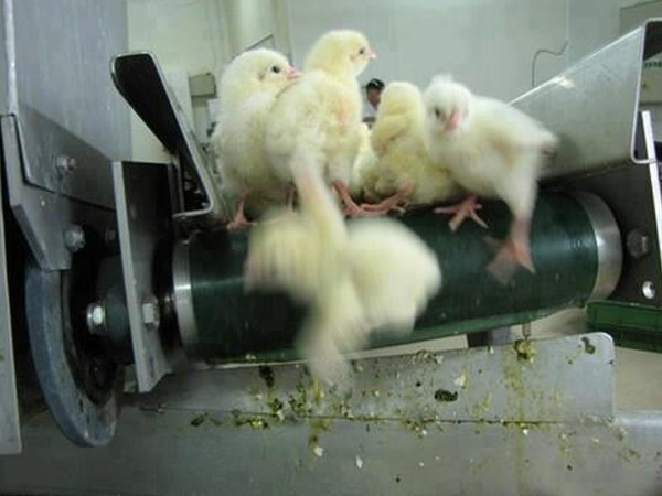 The 250 million chicks identified as male (cockerels) are killed the day  they hatch because, in their inability to lay eggs, they are useless to the  egg ...